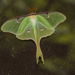 Luna Moth by Stephen Begin