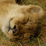 """A little Lion cub dreaming of """"Kittens and Bows"""" (or maybe Zebras and Springbok)."""